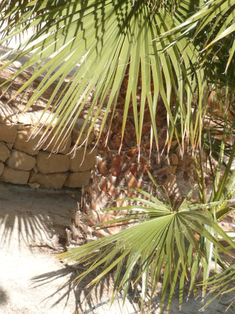 Washingtonia robusta - Page 4 Thevet11