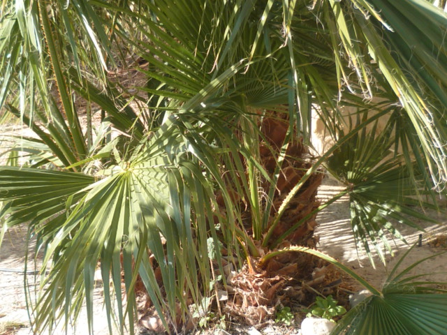 Washingtonia robusta - Page 4 Thevet12