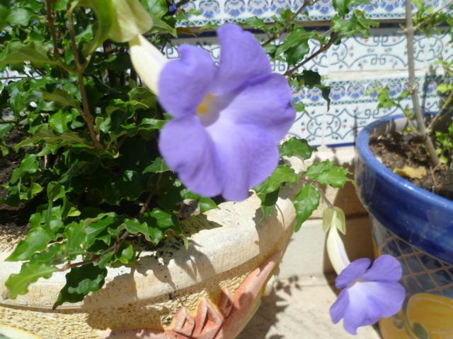 Thunbergia erecta Thunbe10