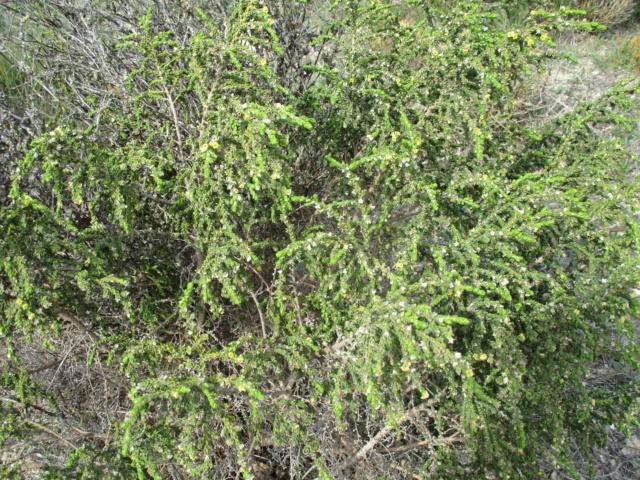 Thymelea hirsuta  Thymel11
