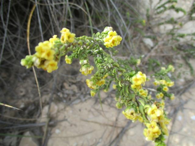 Thymelea hirsuta  Thymel12