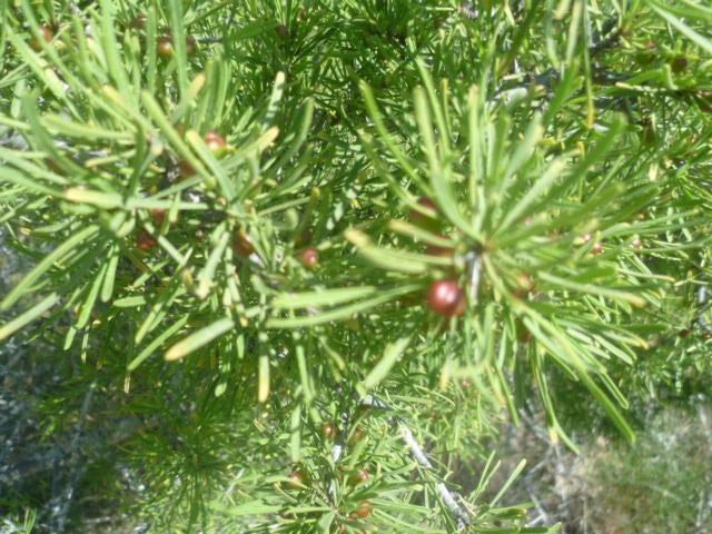 Asparagus albus [Identification] Thymus13
