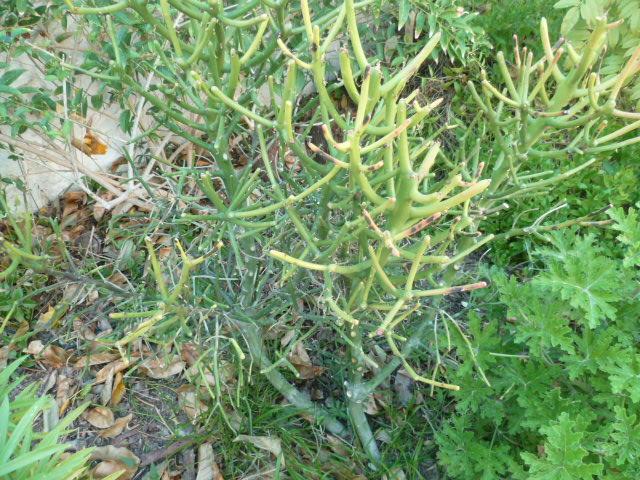 Euphorbia tirucalli - Page 2 Tiruca10