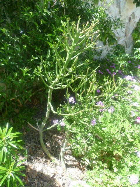 Euphorbia tirucalli - Page 3 Tiruca14