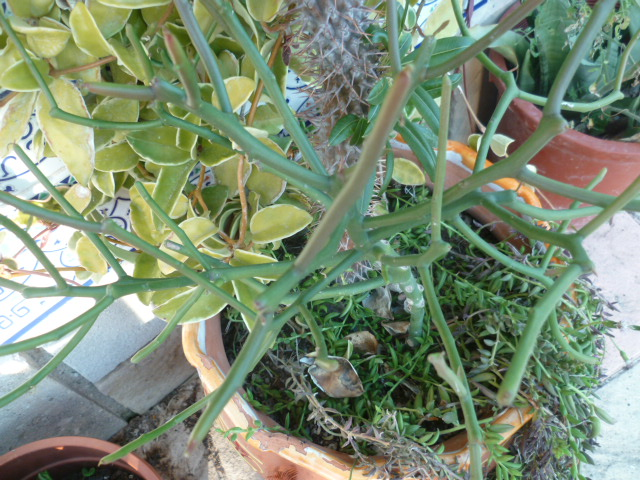 Euphorbia tirucalli - Page 3 Tiruca15