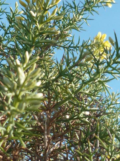 Ulex parviflorus - ajonc de Provence Ulex_011