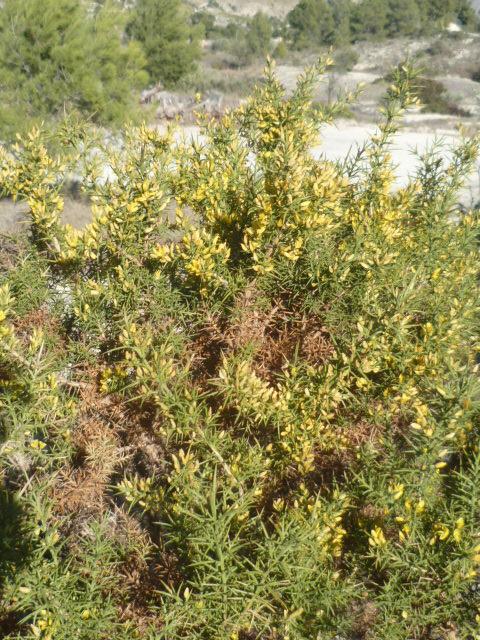 Ulex parviflorus - ajonc de Provence Ulex_012