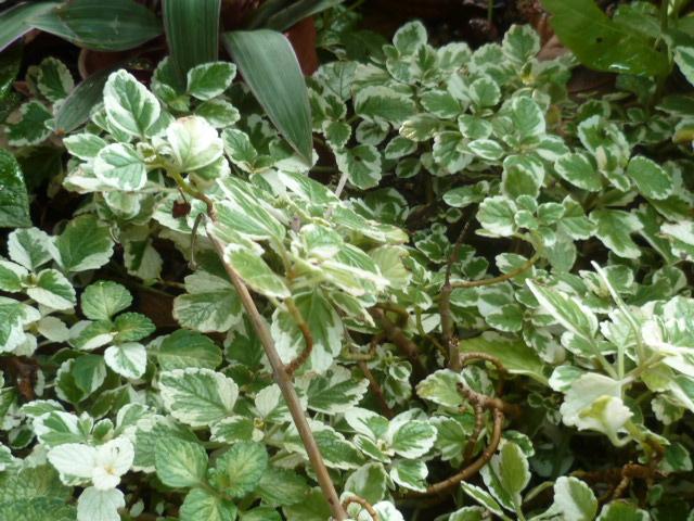 Plectranthus glabratus (= Plectranthus coleoides) Varieg10