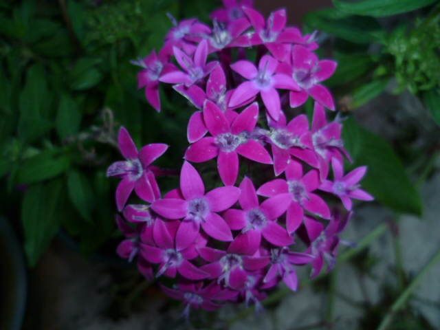 Pentas lanceolata - étoile égytienne [Identification] Vervei11