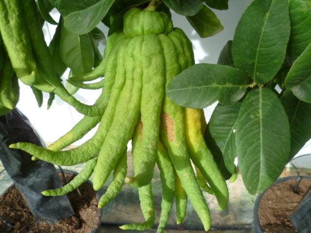 Citrus medica - main de Bouddha Vivero13