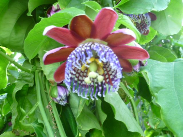 Passiflora - questions et conseils de culture - Page 6 Vivero17