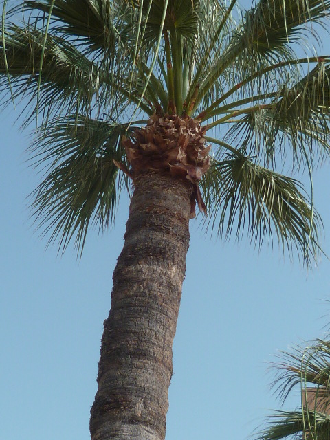 Washingtonia robusta - Page 4 Washin12