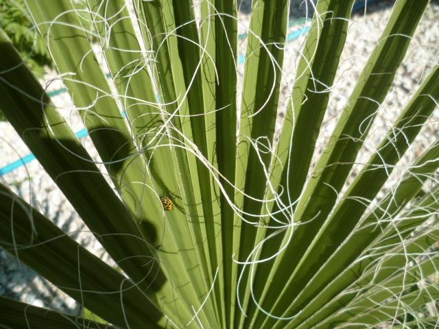 Washingtonia filifera et Washingtonia robusta - comparaison Washin14