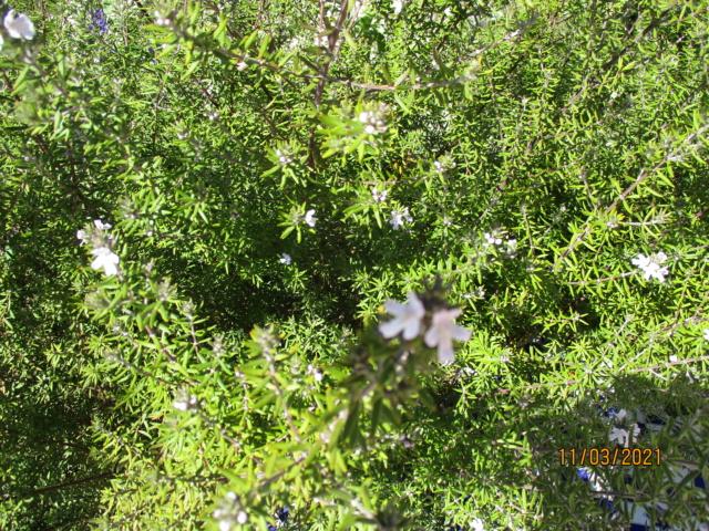 Westringia longifolia - romarin d'Australie Westri10
