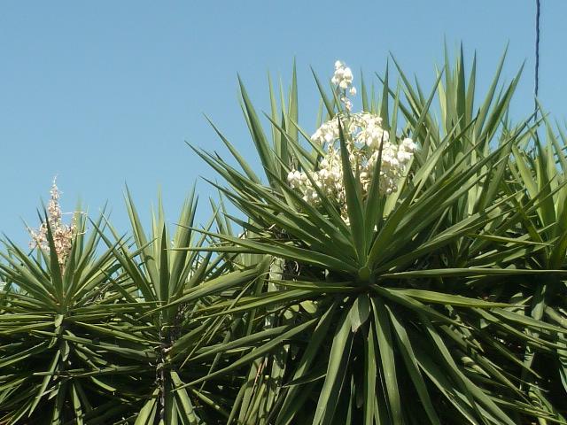 Yucca elephantipes - Yucca gigantea - Yucca guatemalensis - Page 6 Yucca_10