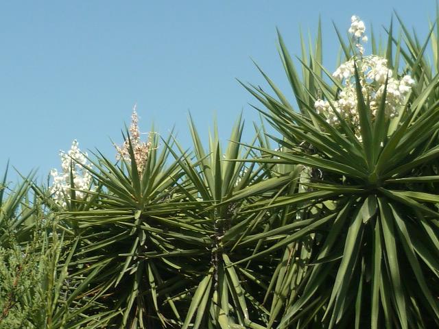 Yucca elephantipes - Yucca gigantea - Yucca guatemalensis - Page 6 Yucca_11