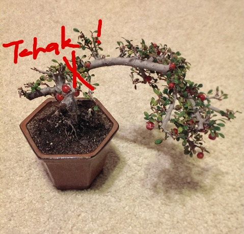 Cotoneaster Imag0010