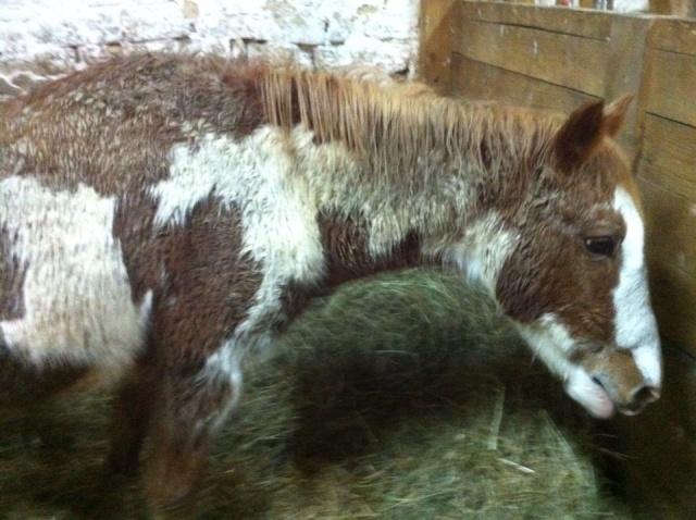 WALANIE (VANILLE) - ONC poney - adoptée en avril 2011 par voulk  - Page 6 73381010