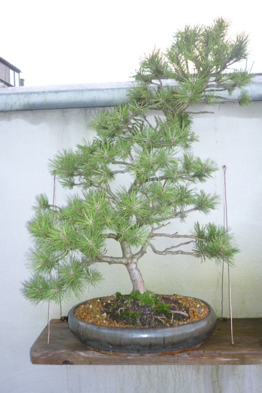I need help with identification of a pine P1010910