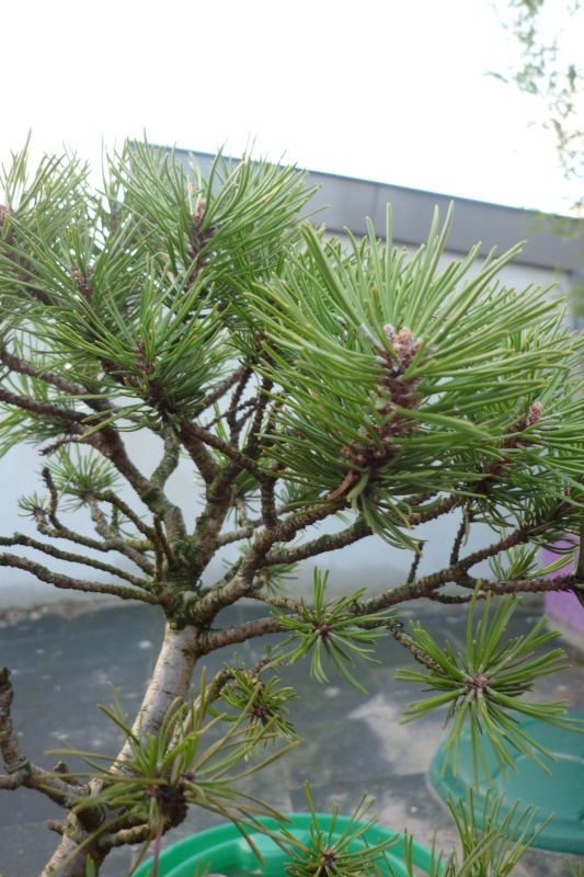 I need help with identification of a pine P1010911