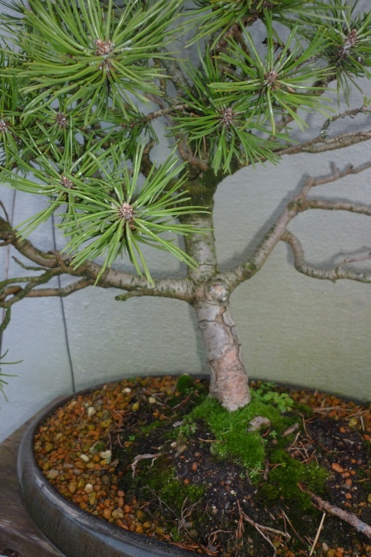 I need help with identification of a pine P1010912