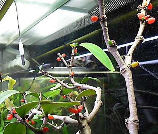 Nouvelle vente de graines d'Hydnophytum formicarum Fruits10