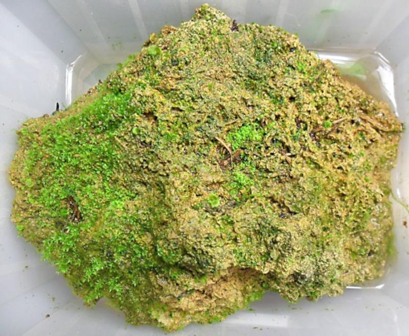 Lecanopteris lomarioides, évolution de mes semis sur pierre L_loma10
