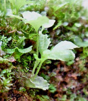 Lecanopteris lomarioides, évolution de mes semis sur pierre L_loma15