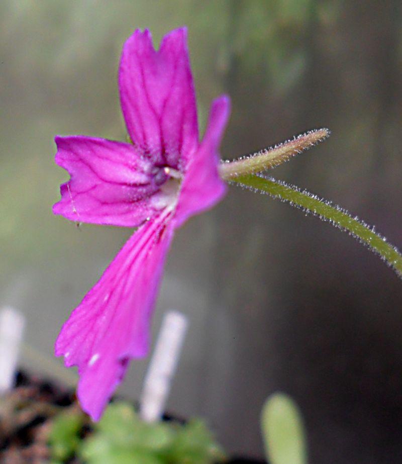 Quelques fleurs de mes pinguiculas P_laue10