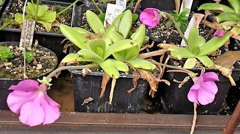 Quelques fleurs de mes pinguiculas P_moct10