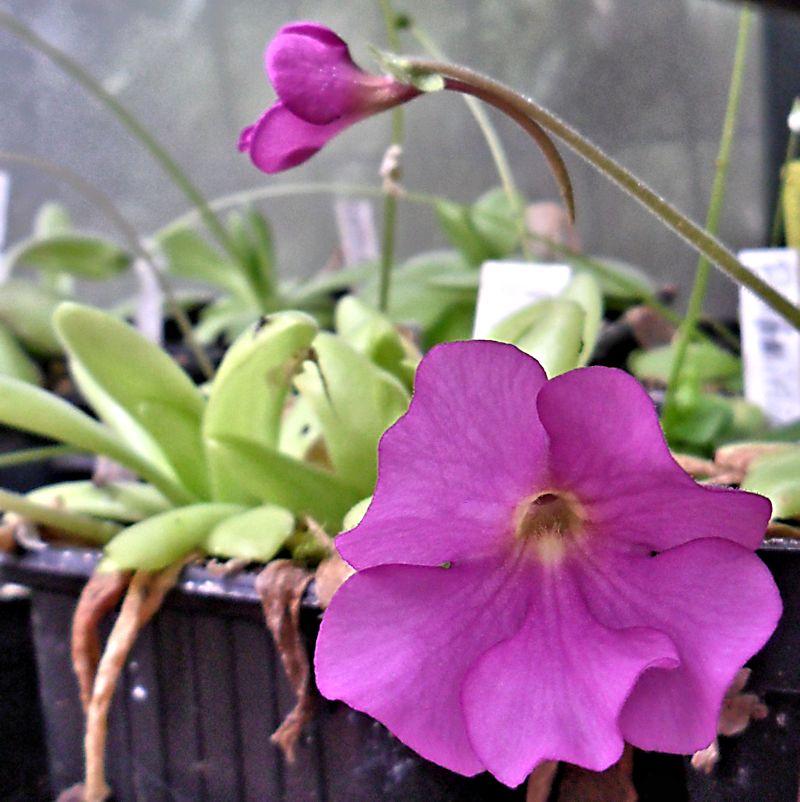 Quelques fleurs de mes pinguiculas P_moct11