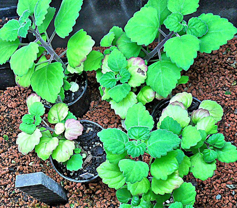 Boutures de Plectranthus ernstii Plectr10