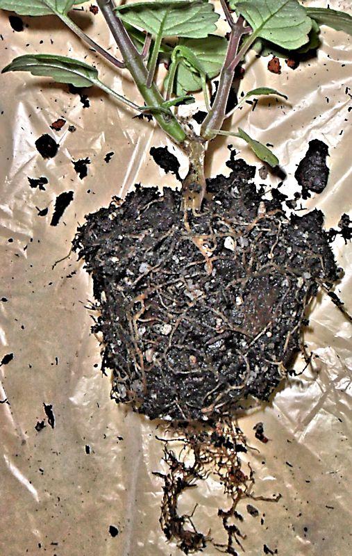 Boutures de Plectranthus ernstii Plectr14