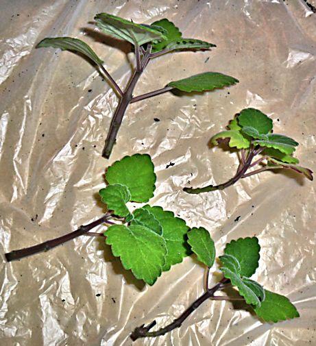 Boutures de Plectranthus ernstii Plectr16