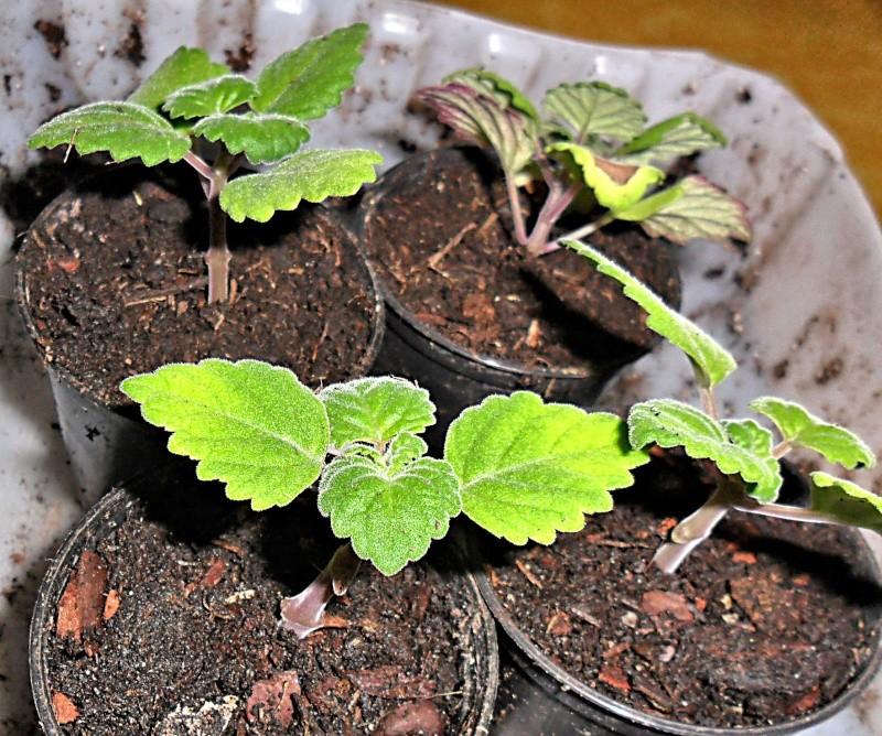 Boutures de Plectranthus ernstii Plectr17