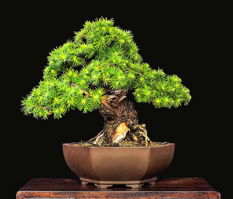2014 41ST UPSTATE NEW YORK BONSAI EXHIBITION Tree-110