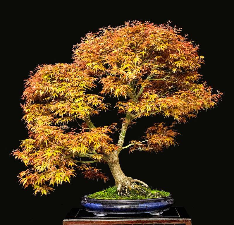 2014 41ST UPSTATE NEW YORK BONSAI EXHIBITION Tree-210