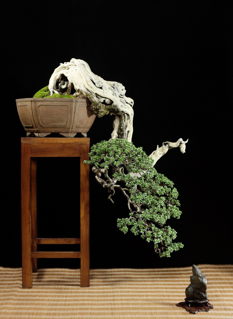 Indonesian Bonsai - Page 3 Br000510