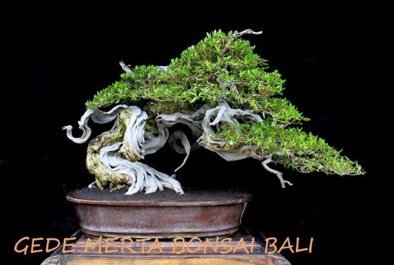 Indonesian Bonsai - Page 3 Pemphi13