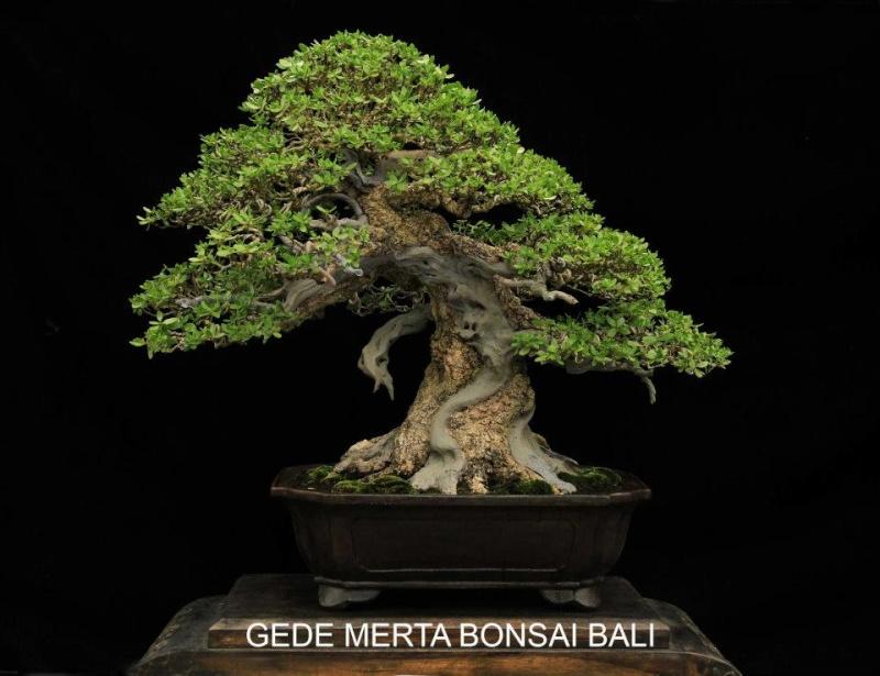 Indonesian Bonsai - Page 3 Pemphi17