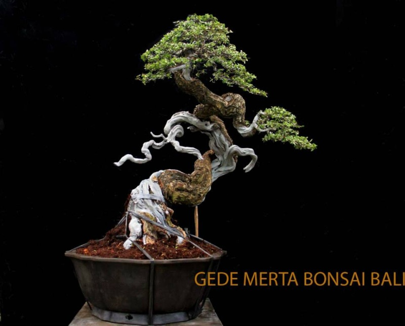 Indonesian Bonsai - Page 3 Pemphi18
