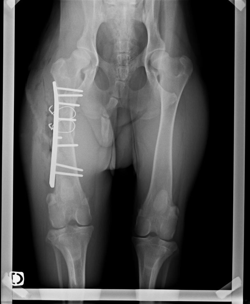 (Clos, merci à tous) URGENT Appel aux dons pour IOXO jeune Doberman de 9 mois fracture du fémur 338_1013