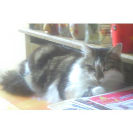 cherche maggy chatte de 6 ans, de type européen a rennes 99045_10