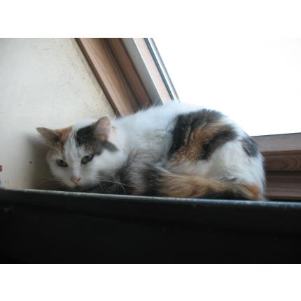 Perdu PEARL chatte poils mi-longs - blanche et taches - à la Chapelle de Brain (AVRIL 2014)  Pearl10
