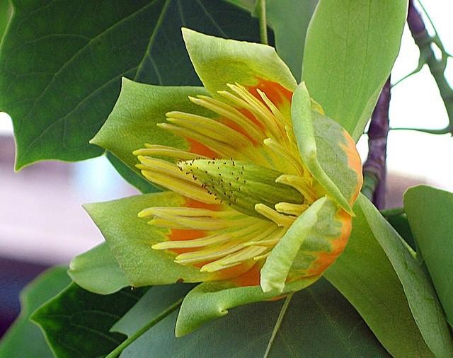 J,ai beau faire une recherche ( Liriodendron tulipifera) 14550910
