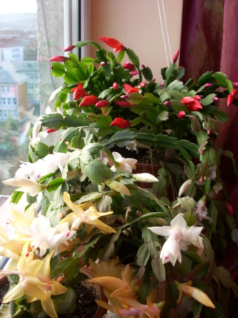 Flori de apartament-Îngrijire,înmulţire şi exponate Flori_16
