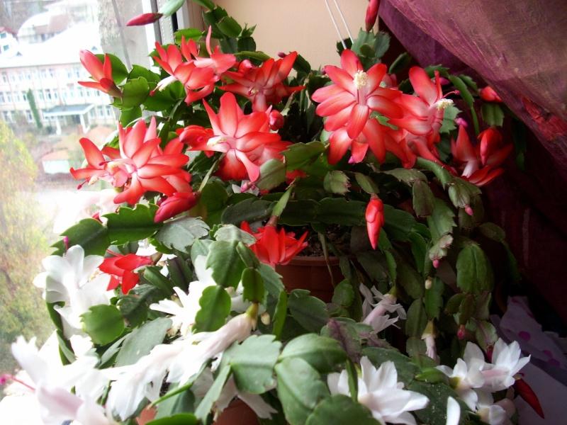 Flori de apartament-Îngrijire,înmulţire şi exponate Flori_17