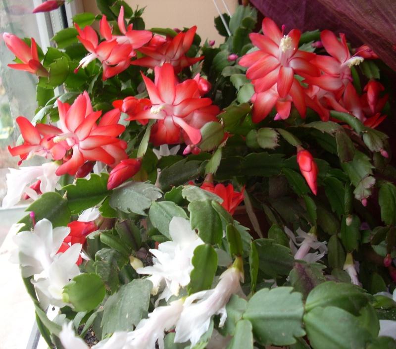Flori de apartament-Îngrijire,înmulţire şi exponate Flori_18
