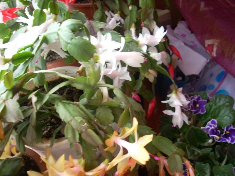 Flori de apartament-Îngrijire,înmulţire şi exponate Flori_19