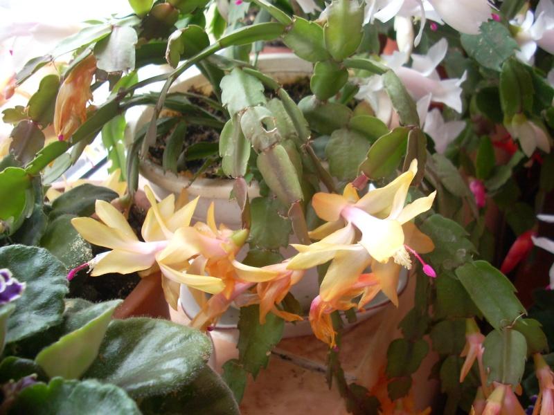 Flori de apartament-Îngrijire,înmulţire şi exponate Flori_20